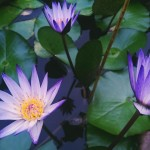 Painting The Modern Water Lily
